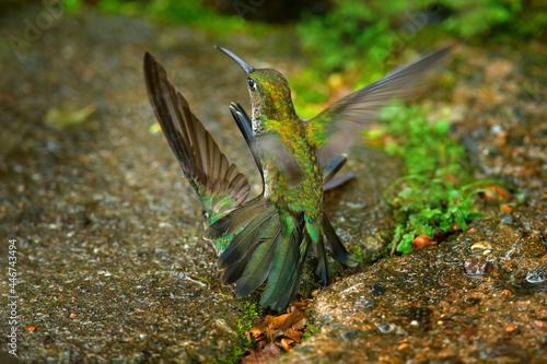 Fototapeta premium Hummingbird fight. Many-spotted hummingbird, Taphrospilus hypostictus, beautiful bird with crest, mating in the green tropic forest, Sumaco, Ecuador. Bird love.