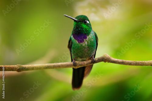 Fototapeta premium Purple-bibbed whitetip, Urosticte benjamini, green hummingbird in the green forest, native to Colombia and Ecuador. Whitetip sitting on the branch. Birdwatching in Ecuador.