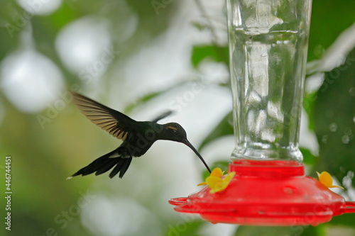 Fototapeta premium Hummingbird with feeder in the forest, Amagusa, Ecuador. white-whiskered hermit, Phaethornis yaruqui, hummingbird in the nature forest, sucking sweet water from red feeder, wildlife Ecuador.