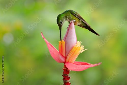 Fototapeta premium Bird with flower in tropic jungle. Empress Brilliant, Heliodoxa imperatrix, beautiful hummingbird in the nature habitat. Green bird with long tail from Ecuador. Wildlife scene from tropic nature.
