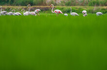 Large Group Of Flamingoes Feeding On The Ricefield