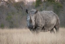 A White Rhino, Ceratotherium Simum, Stands In Long Dry Grass, Direct Gaze