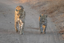A Mother Leopard And Her Cub, Panthera Pardus, Walk Along A Sand Road