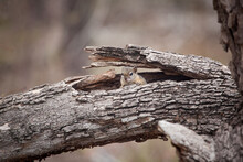 A Tree Squirrel, Paraxerus Cepapi, Peers Out Between A Broken Branch