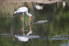 A Yellow Billed Storks, Mycteria Ibis, Fishes For Frogs