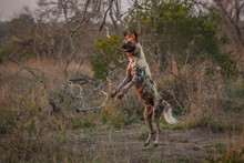A Wild Dog, Lycaon Pictus, Stands Up On Its Hind Legs
