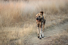 A One Eared, Lycaon Pictus, Walks Down A Road Surrounded By Dry Grass