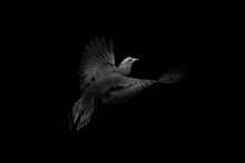 """Close-up Rock Pigeons Flying In The Air Isolated On Black Background (Black And White) - Picture Concept """"Hope"""""""