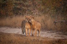 A Lioness, Panthera Leo, Rubs Her Head Against Another