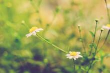 Soft Focus Of White Daisy Flowers  White Little Flower With  Morning Sunlight  Of Spring.