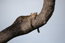 A Leopard, Panthera Pardus, Lies On A Tree Trunk, Blue Sky Background