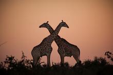 Two Giraffe, Giraffa Camelopardalis Giraffa, Stand Together Silhouetted By A Sunset, Necks Crossing