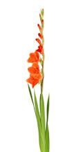 Orange Gladiolus Flowers Isolated On White Background. Beautiful Summer Flowers.