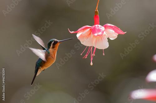 Fototapeta premium Hummingbird, White-throated Mountain-gem (Lampornis castaneoventris) female flying next to a flower to get nectar in the rainforest in San Gerardo del dota, Savegre, Costa Rica