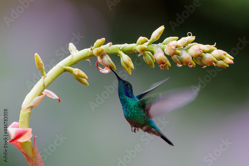 Fototapeta premium Hummingbird - Green violet ear (Colibri thalassinus) flying to pick up nectar from a beautiful flower, San Gerardo del Dota, Savegre, Costa Rica. Action wildlife scene from nature.