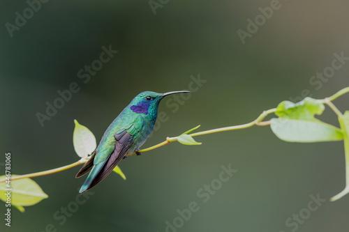Fototapeta premium Hummingbird - Green violet ear (Colibri thalassinus) sitting on a branch in San Gerardo del Dota, Savegre, Costa Rica. Action wildlife scene from nature.