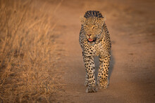 A Leopard, Panthera Pardus, Walks Towards The Camera On Dust Road, Looking Out Of Frame