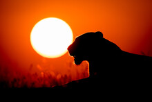 The Silhouette Of A Lioness, Panthera Leo, Lying Down At Sunset, Yellow Sun Background