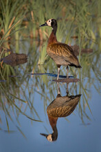 A White-faced Whistling Duck, Dendrocygna Viduata, Stands In Shallow Water, Refelction In Water