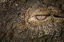 The Eye Of A Crocodile, Crocodylus Niloticus