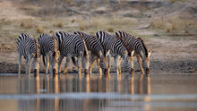 A Herd Of Zebra, Equus Quagga, Drink Togetehr At Waterhole