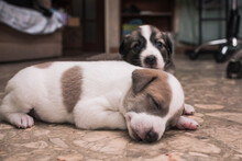 A Sleepy 3 Week Old Puppy Lying On The Floor Accompanied By His Littermate.