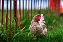 Pasture Raised Sapphire Olive Egger Chicken Grazing In Green Grass