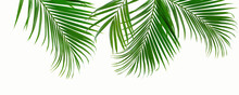 Group Of Green Palm Leaves Branch On White Background