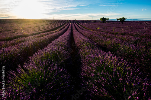 Fotografie, Obraz Lavender field in france, provence valensole