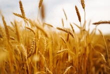 Golden Field Of Wheat In A Summer Day. Growth Nature Harvest. Agriculture Farm.
