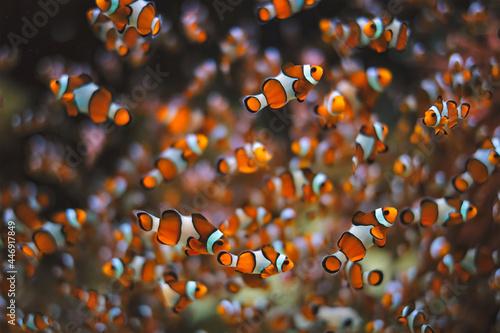 Murais de parede Clown Anemonefish Amphiprion ocellaris