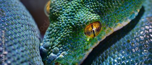 Foto Green tree python Morelia viridis close-up