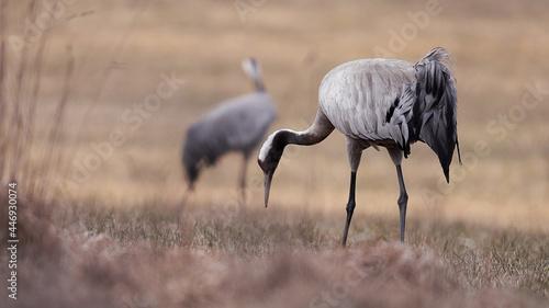Fototapeta premium Crane grazing in a field