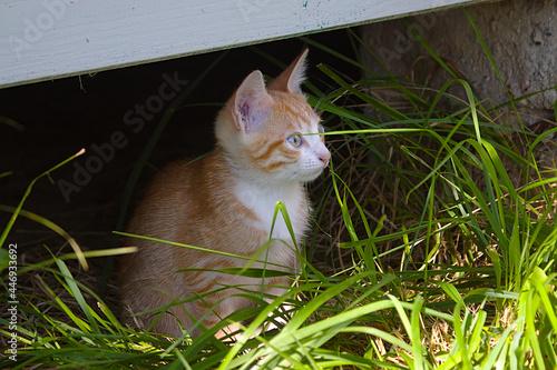Fotografie, Obraz The red kitten went for a walk
