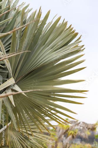 Canvastavla A large Bismarck Palm frond
