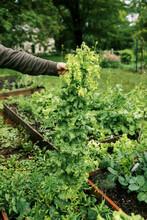 Man Holding A Giant Wild Grown Lettuce In His Vegetable Garden