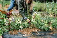 Female Flower Farmer Cutting Snapdragons In Her Garden Outside