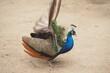 Piękny paw na beżowym tle w zoo