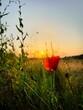 coquelicot au coucher du soleil