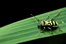 Black And Yellow Long Horned Black Beetles (Cicindela Aurulenta)