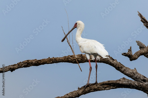 Fotografie, Obraz One African spoonbill with nest building material in its  beak