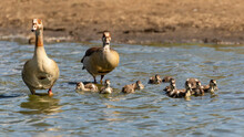 Family Of Egyptian Geese In The Water