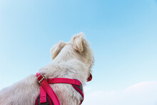 Happy White Dog Looking Over Horizon With Clear Sky Background