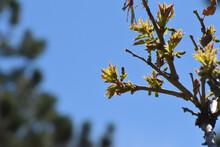 New Oak Leaves