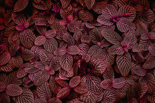 Abstract Red Leaf Texture, Closeup Nature View Of Leaves Background.