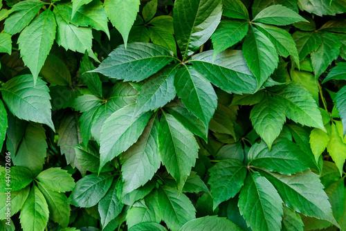 Virginia creeper plant background Fototapet