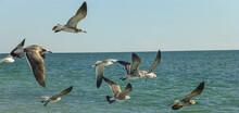 Captiva Island, Florida, United States. Laughing Gulls Flying Near The Coast.