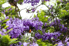 Jacaranda Flowers With Leaves And Seed Pods