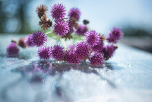 Milk Thistle (Silybum Marianum) On A Glass Wet Surface, Dry Medicinal Herb Thistle, Herbal Homeopathy, Dry Herbs In Beautiful Bokeh Light Effects,