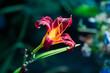 Kwiat lilii na ciemnym tle